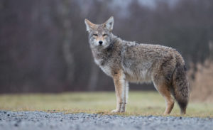 trickster coyote
