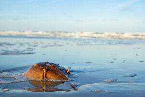 Horseshoe Crab on Beach